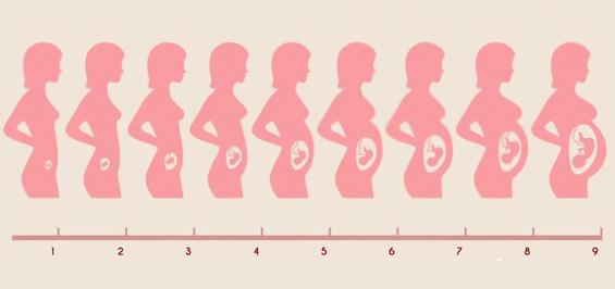Размер матки по неделям беременности