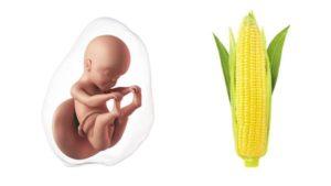 25 неделя беременности: развитие плода